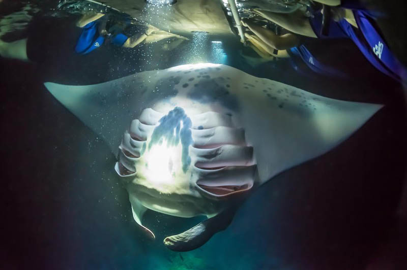 Manta Ray night snorkelling with SeaQuest (image courtesy of SeaQuest)