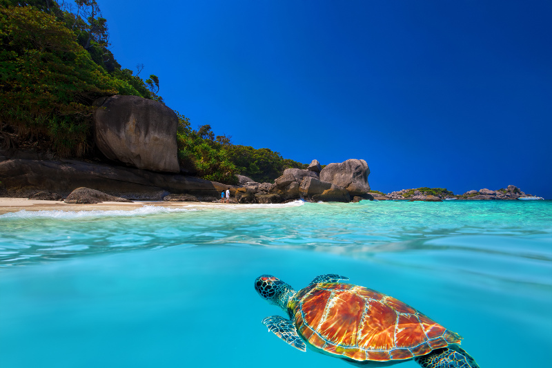 Similan Islands Turtle, Thailand
